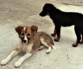 bhutan_puppies